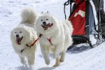 Samoyed-sled-team-pulling-a-sled-over-the-snow.jpeg